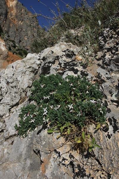 Daphne jasminea, N of Delphi bypass