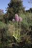Orchis simia, Kipi, Metsovon-Monodendri