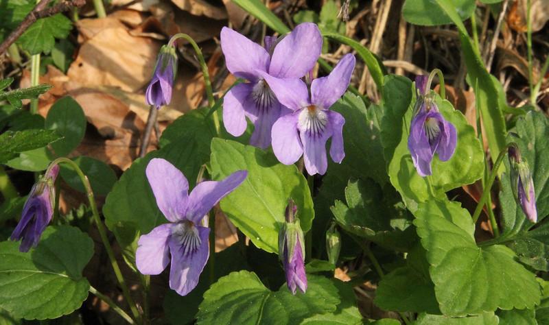 Viola reichenbachiana, 2km N of Metsovon, Kataras Pass