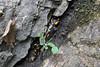 Salamandra salamandra (NL: vuursalamander)beneath Agios Dionysios Monastery