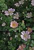 Rosa pimpinellifolia, Mount Vermion 2052m (K)