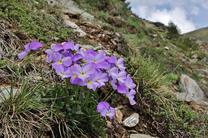 Viola doerfleri,? Kajmaktcalan, 2521m, near the Macedonian border (L), NW of Edessa