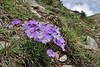 Viola doerfleri,? Kajmaktcalan, 2521m, near the Macedonian border (L), NW of Edessa