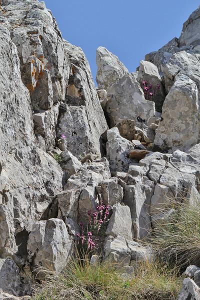 Saxifraga sempervivum, Parnassos 2457m