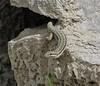 Podarcis tauricus, Balkan Wall Lizard, near Morfi, Konitsa-Siatista (I)