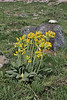 Primula veris ssp. intricata, Kataras Pass 1690m, N of Metsovo