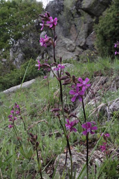 Silene atropurpurea, 1000m., Kajmaktcalan, 2521m, near the Macedonian border (L)