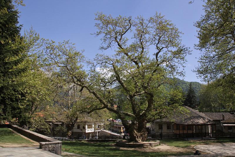Platanus orientalis, Metsovon