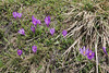Crocus pelistericus, Kajmaktcalan, 2521m, near the Macedonian border (L)