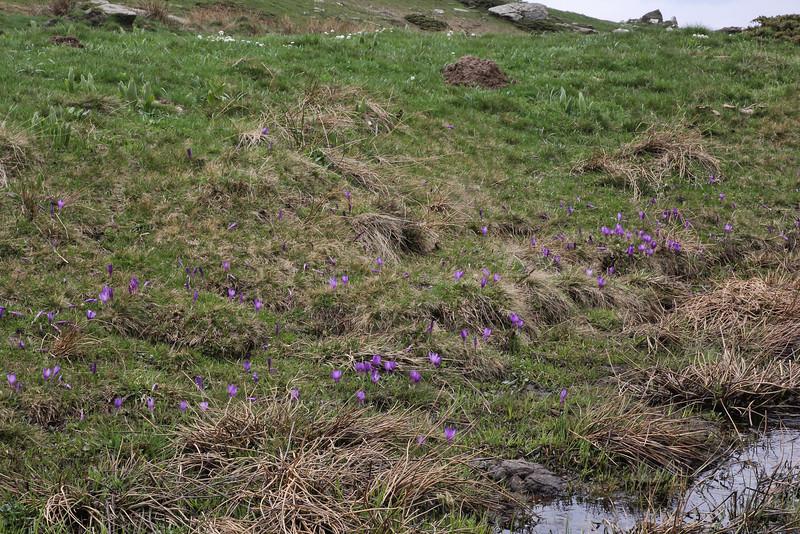 Crocus pelistericus, Kajmaktcalan, 2521m, near the Macedonian border (L)