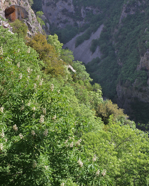 Fraxinus ornus and Aesculus hippocastanum, native in ravine woodland, Monastery at Monondendri, Vikos Gorge