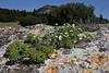 Erodium chrysanthum and Euphorbia myrsinites, 1100m, S of Livadia Plain