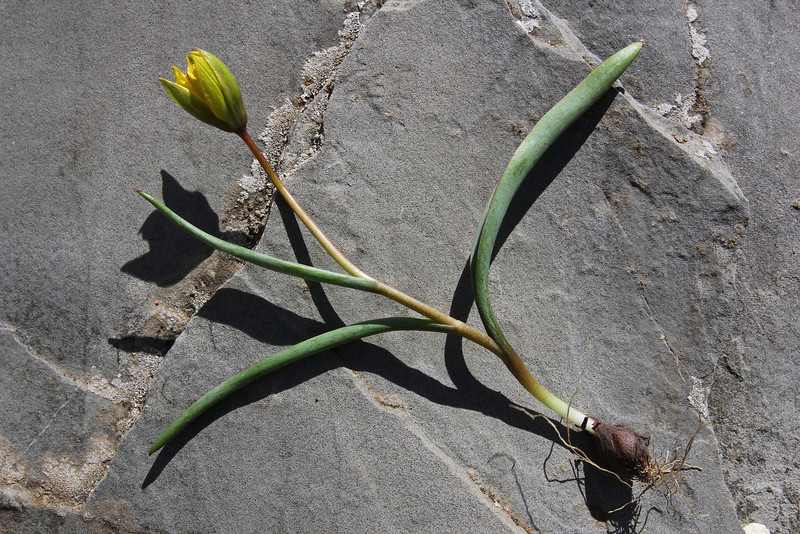 bulb of Tulipa australis, (only for ID purpose) 1550m, serpentine, 2km after snow plow station, Kataras pass 1690m