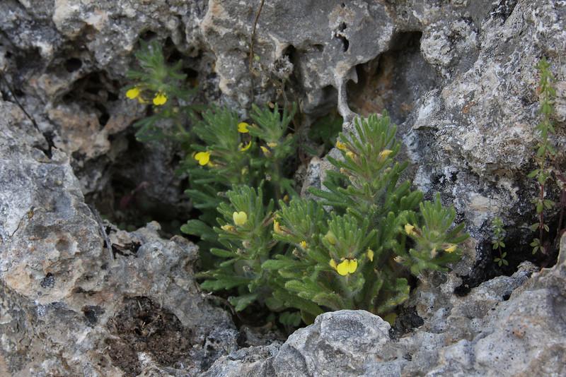 Ajuga aff. chamaepitys, Delphi-Kroki, Above geological site