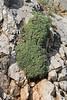 Arabis caucasica, 1100m, Livadia Plain, Parnassos 2457m