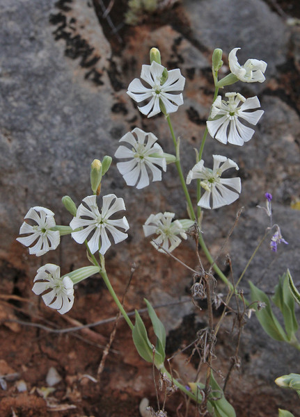 Silene graeca, Delphi-Kroki, Above geological site