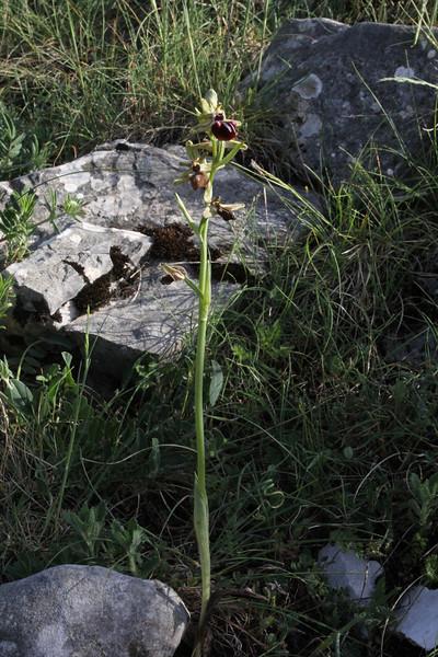 Ophrys sphegodes ssp. mammosa, Kipi, Metsovon-Monodendri