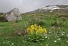 Primula veris, Mount Vermion 2052m (K)