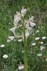 Orchis morio var. alba, near Konitsa