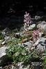 Corydalis solida ssp. incisa, Parnassos 2457m