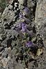 Campanula topaliana ssp. delphica, N of Delphi bypass