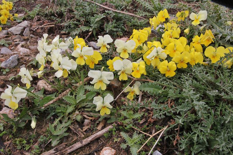 Viola graeca?, colour variation, Mount Vermion 2052m (K), NW of Naousa