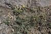 Onobrychis alba, Perdalofos, Konitsa-Siatista (H)