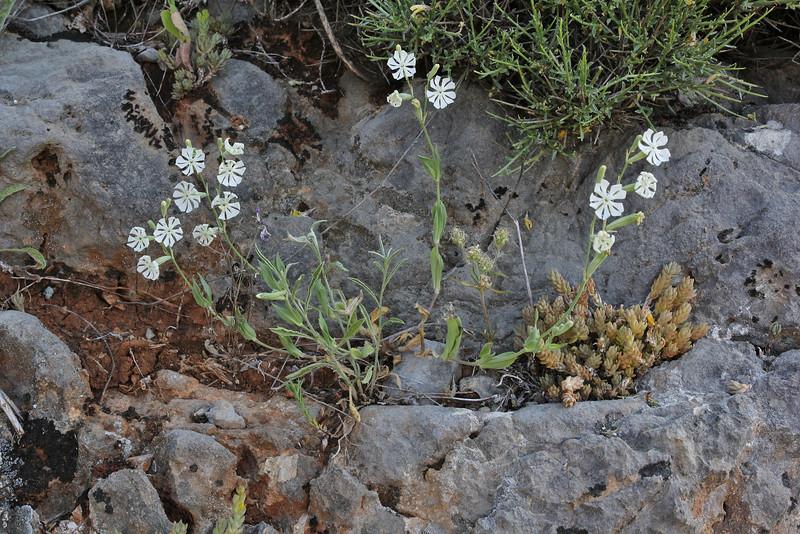 Silene graeca, Delphi-Kroki, Above geological site