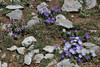 Anemone apennina ssp. blanda, Parnassos 2457m