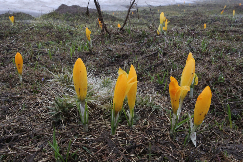Crocus cvijcii, Mount Vermion 2052m (K)