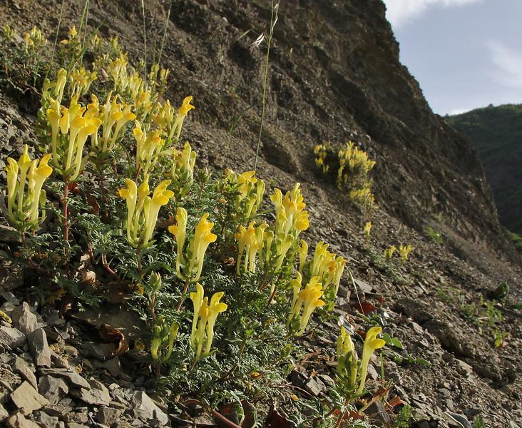 Scutellaria orientalis, Plagia,  Konitsa-Siatista (G)