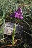 Anacamptis (Orchis) morio ssp.morio, Kipi, Metsovon-Monodendri