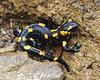 Salamandra salamandra (NL: vuursalamander), Mount Vermion 2052m (K)