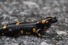 Salamandra salamandra, Mount Vermion 2052m (K)