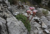 Saxifraga scardica, Prionia-Refuge A, Mount Olympus (M), Olympus NP