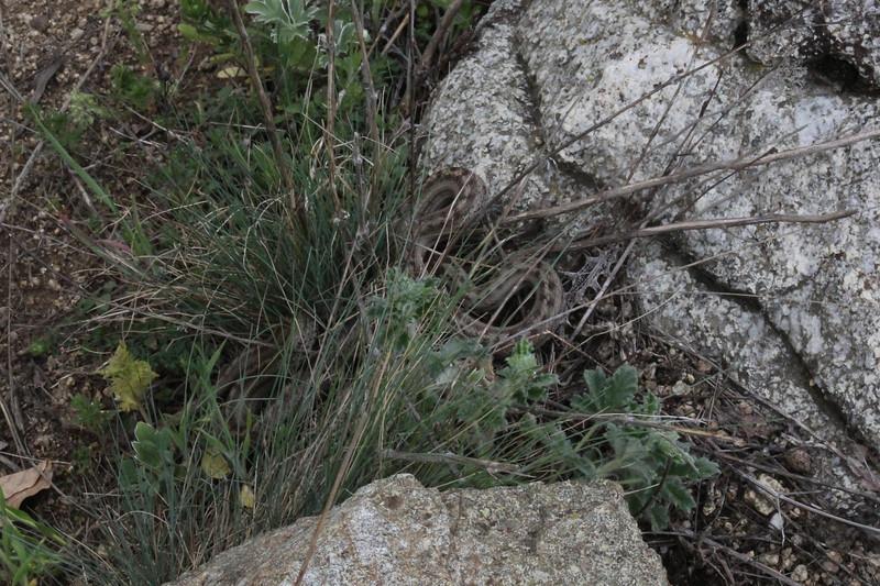 Coronella austriaca, Smooth Snake, (NL: gladde slang), Kajmaktcalan, 2521m, near the Macedonian border (L)