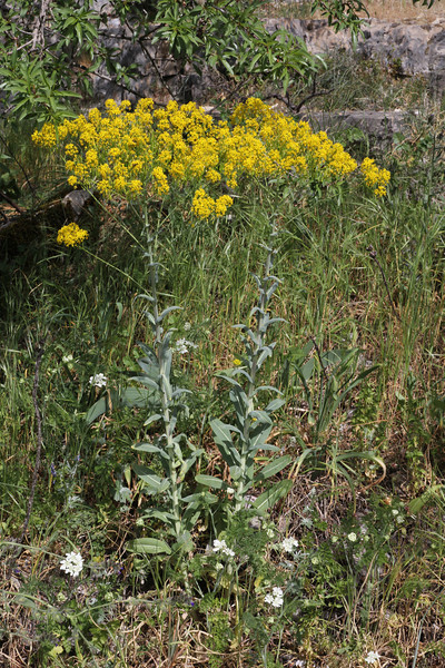 Isatis tinctoria, since ancient times cultivated to produce blue dye, 1350m, Monastery at Monondendri, Vikos Gorge