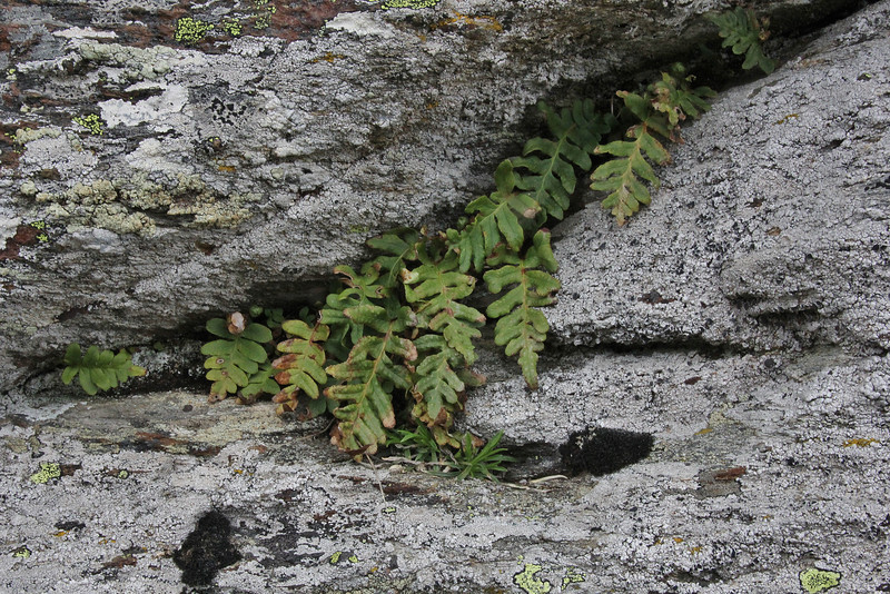 Polypodium vulgare, Kajmaktcalan, 2521m, near the Macedonian border (L)
