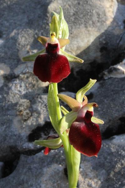 Ophrys sphegodes ssp. helenae, Kipi, Metsovon-Monodendri