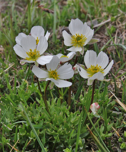 Ranunculus cacuminis, endemic to Mt. Voras, also known as Mt. Kajmaktcalan, 2000m, Kajmaktcalan, 2521m, near the Macedonian border (L)