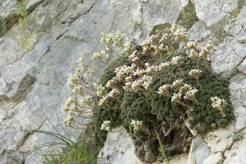 Saxifraga marginata (populations from the Vikos Gorge area are sometimes considered to have Saxifraga scardica influence)