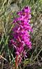 -Orchis quadripunctata?, (hybride?)Kipi, Metsovon-Monodendri