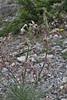 Matthiola fruticulosa ssp. valesiaca, Agios Dionysios  Monastery-Prionia, Olympus NP