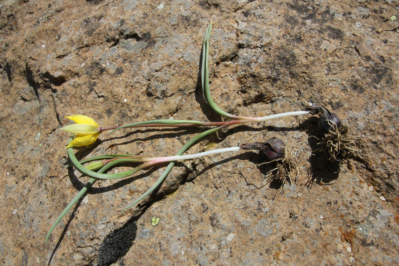 bulbs of Tulipa australis, 1650m serpentine, (only for ID purpose), 2km after snow plow station, Katara pass 1690m