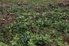 Symphytum tuberosum, Mount Vermion 2052m (K)