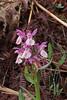 Dactyloriza sambucina, Mount Vermion 2052m (K)  NW of Naousa