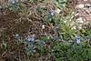 Lithospermum incrassatum, syn. Buglossoides arvensis ssp. gasparrinii, Kataras Pass 1690m, N of Metsovo