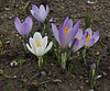 Crocus sieberi, different colours, Kajmaktcalan, 2521m, near the Macedonian border (L)