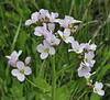 Cardamine acris, 1000m, Kajmaktcalan, 2521m, near the Macedonian border (L)