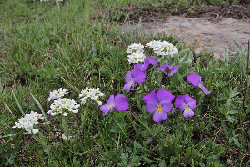 Thlaspi graecum and Viola doerfleri,? , Kajmaktcalan, 2521m, near the Macedonian border (L), NW of Edessa